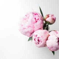 LG-PinkPeonies-01